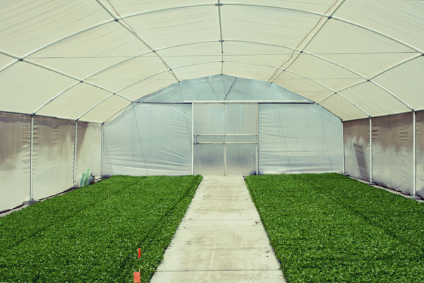 Large Commercial Greenhouse - Inside